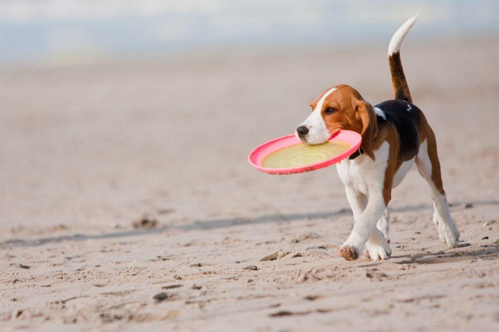 dog-beach-frisbee_52190320