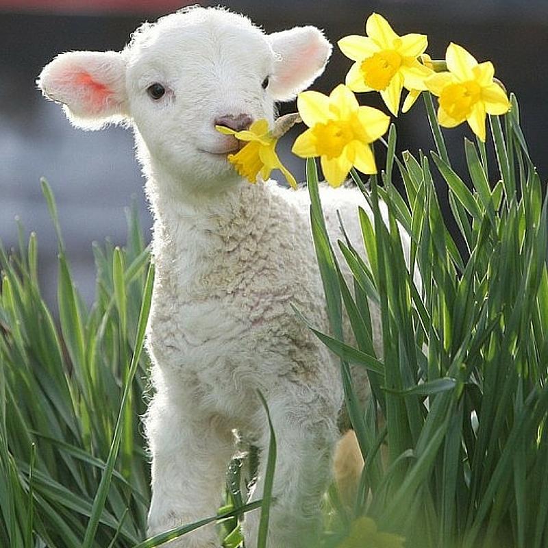 Agnello a Pasqua: io no.